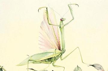 Praying Mantis Illustration Fabre Insecst