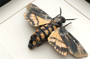 Framed Insects - Death's Head Hawk Moth