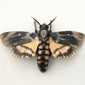 Framed Paper Death's Head Hawkmoth