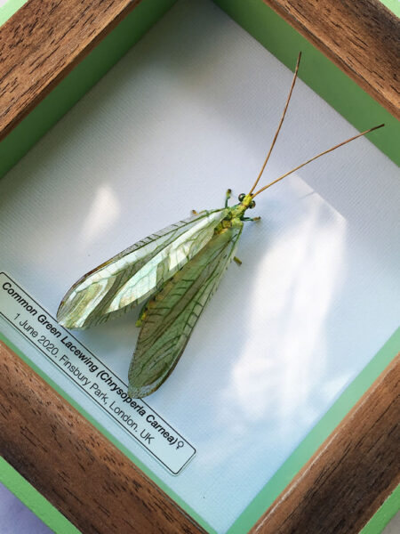 Framed Insects - Common Green Lacewing
