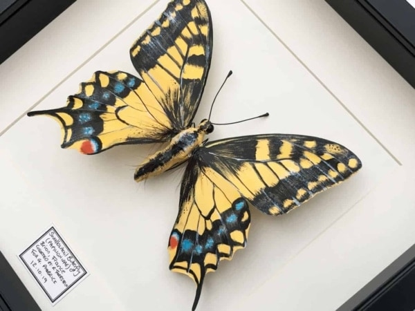 Framed Insects - Swallowtail Butterfly